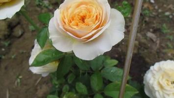 Photo of Top 6 Loài hoa đẹp và đắt nhất thế giới